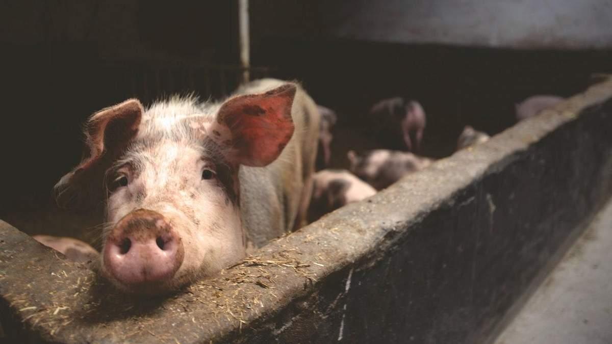 В Великобритании начался кризис предприятий животноводства
