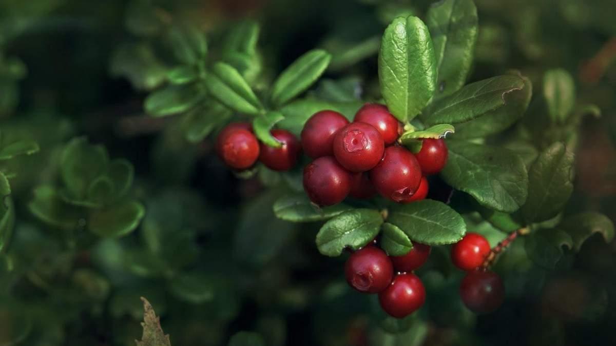 Ягідний бізнес в Україні: як заробляти на вирощуванні журавлини - Бізнес